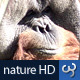 Nature HD | Orangutan Close-up - VideoHive Item for Sale