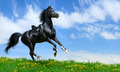 Black Arabian Horse Gallops - PhotoDune Item for Sale