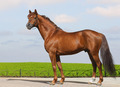 Don Sorrel Stallion - PhotoDune Item for Sale
