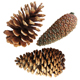 Closed pine cone 3 - GraphicRiver Item for Sale