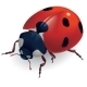 Ladybug. (Lat. Coccinellidae) - GraphicRiver Item for Sale