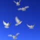 Flying doves (pack Vol.1) - VideoHive Item for Sale