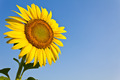 Blooming sunflower in the blue sky background - PhotoDune Item for Sale