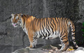 Siberian Tiger in a zoo - PhotoDune Item for Sale