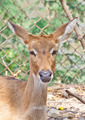 Eld's Deer - PhotoDune Item for Sale