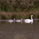 Swan Family Floats Across Pond - VideoHive Item for Sale
