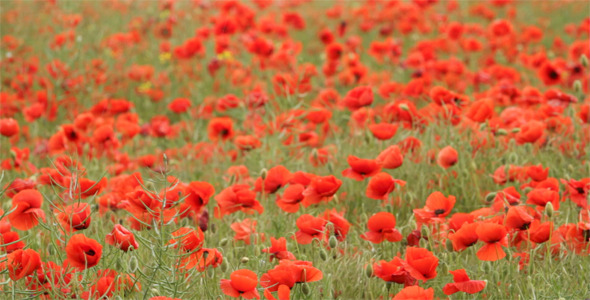 Poppies Flowers With Least 399 Pixels Wide » AiHouQi.com