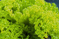 Green Salad Leaves - PhotoDune Item for Sale