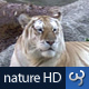Nature HD | Tiger - VideoHive Item for Sale