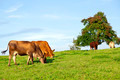 Cows in Swiss Pasture - PhotoDune Item for Sale