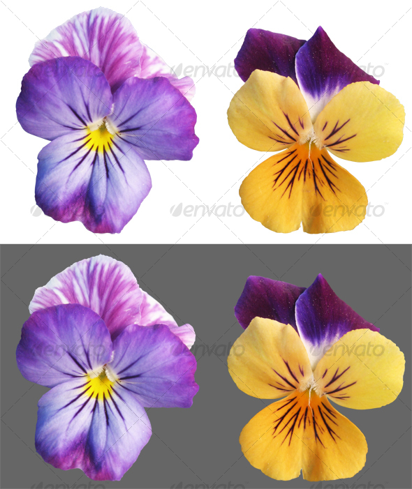 GraphicRiver Two Pansy flowers 73282