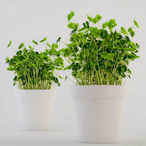 3DOcean Parsley in a Pot 227513