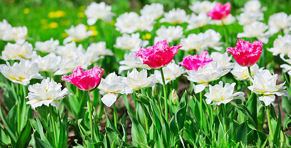 VideoHive Pink And White Tulips 2453193