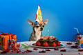 Chihuahua at table wearing birthday hat and looking at birthday cake in front of blue background - PhotoDune Item for Sale