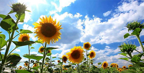 pixels wide sunflowers 500 quotes videohive flowering nature quotesgram