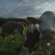 Curious Cows In A Meadow - VideoHive Item for Sale