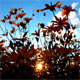Sunset Behind Flowers - VideoHive Item for Sale