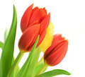tulips over a white background - PhotoDune Item for Sale