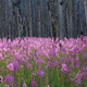 Fireweed wildflowers in a burnt forest - PhotoDune Item for Sale