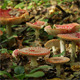 Red Fly Agaric, Amanita Muscaria - VideoHive Item for Sale