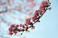 Almond branch with flowers - PhotoDune Item for Sale