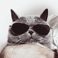 Funny muzzle of gray British cat in sunglasses - PhotoDune Item for Sale