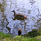 Duck Family in City Pond, Brussels - VideoHive Item for Sale