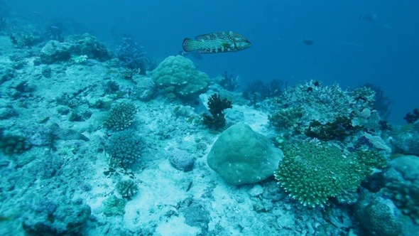 VideoHive Colorful Grouper and Tropical Coral Reef Maldives 3194091