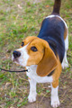 dog Beagle breed on the green grass in the summer - PhotoDune Item for Sale