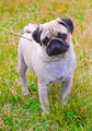 dog fawn pug breed on green grass in summer - PhotoDune Item for Sale