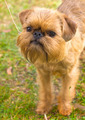 red dog Brussels Griffon breed on the green grass in the summer - PhotoDune Item for Sale