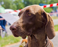 Close-up portrait of the dog Deutsch Kurzhaar breed - PhotoDune Item for Sale