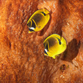 The raccoon butterflyfish - PhotoDune Item for Sale