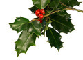 Holly berries - PhotoDune Item for Sale