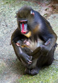 Mandrill female with her tiny newborn - PhotoDune Item for Sale