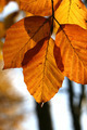 Beech Tree in Autumn - PhotoDune Item for Sale