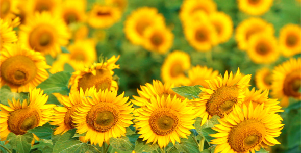 Sunflowers Background Of 399 Pixels Wide For Cover Photo