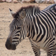 Zebra - VideoHive Item for Sale