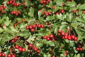 Mature Fruits Of The Hawthorn  - PhotoDune Item for Sale
