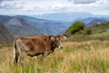 Cow on a pasture Asturias - PhotoDune Item for Sale