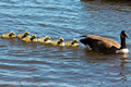 Canadian goose swimming with their young. - PhotoDune Item for Sale