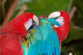 Red and blue macaw parrots - PhotoDune Item for Sale