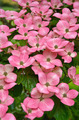 Pink kousa dogwood flowers - PhotoDune Item for Sale