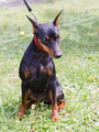 dog Miniature Pinscher breed sitting - PhotoDune Item for Sale
