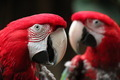 2 Macaws - PhotoDune Item for Sale