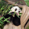 Panda Eats Lunch - PhotoDune Item for Sale