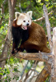 Red Panda - PhotoDune Item for Sale