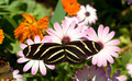 Zebra Longwing Butterfly - PhotoDune Item for Sale