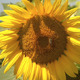 Bees On Sunflower  - VideoHive Item for Sale