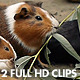 Guinea Pigs Eating Eucalyptus Leafs - VideoHive Item for Sale